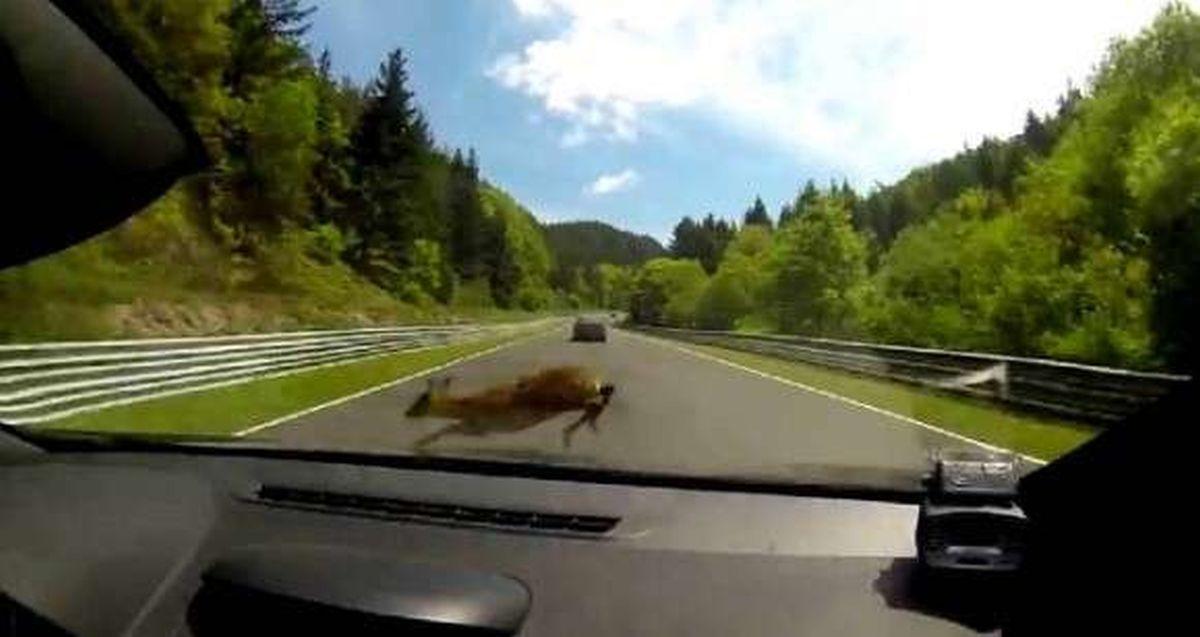 Renault Megane RS uderza w jelenia