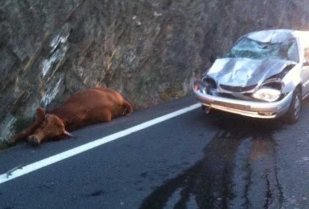 Krowa spadła na samochód