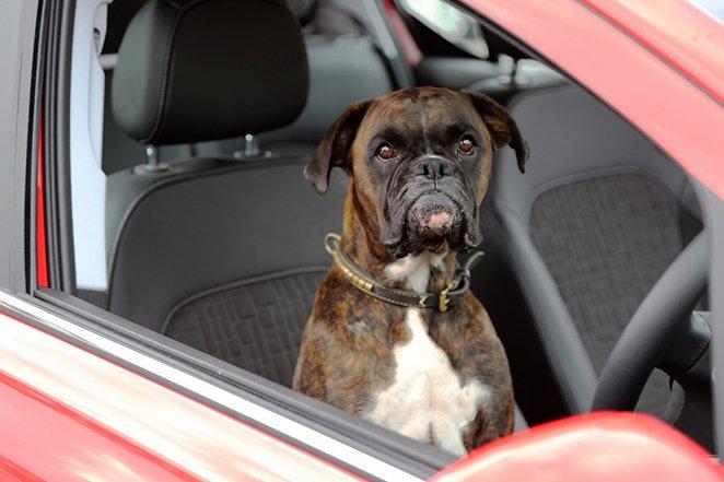 Pies parkuje opla