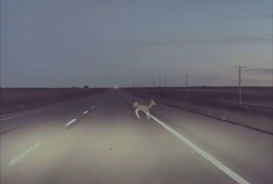 Tesla Autopilot - jeleń / zwierzę na drodze